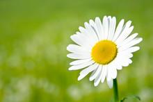 Margerite Vor Unscharfer Blume...