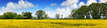 Rapen Yellow Field And Deep Blue Sky