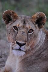 Panel Szklany Lew Lioness (Panthera leo), Masai Mara, Kenya