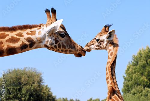 Fotografie, Obraz  Girafon donnant un Baiser à une Girafe