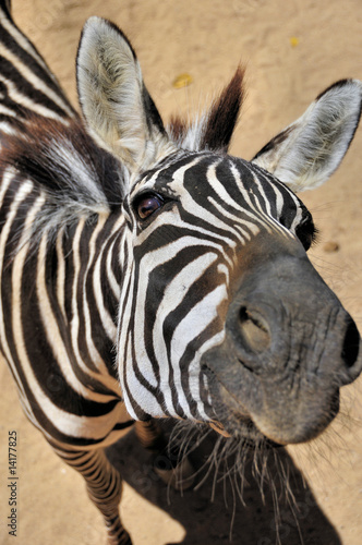 Fototapety, obrazy: Curious zebra