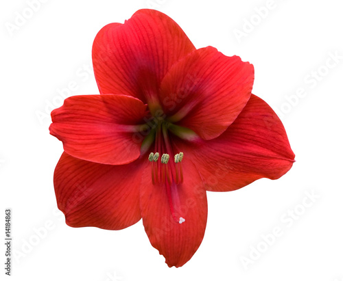 Amaryllis with Clipping Path Canvas Print