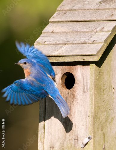 Bluebird leaving the birdhouse Tapéta, Fotótapéta
