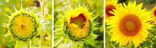 Collage Of Growing Sunflower