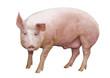 Leinwanddruck Bild - Schwein