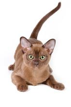 Burmese Kitten On White Background