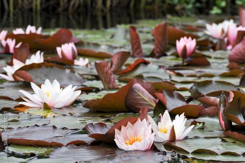 Deurstickers Waterlelies Seelilien