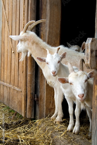 The herd of pet goats. Fototapeta