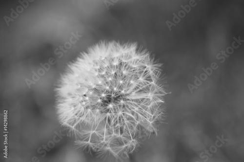 Fototapety, obrazy: Dandelion in black and white