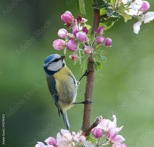 Leinwand Poster Blue Tit hunting for insects in flowering apple tree