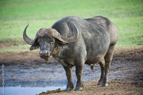 A mature Buffalo stares at me from the waterhole