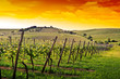 canvas print picture - german vineyard near the rhein river