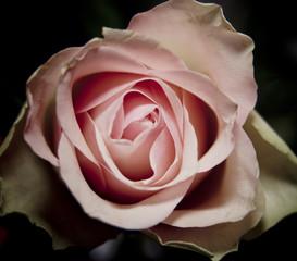 Obraz rosa