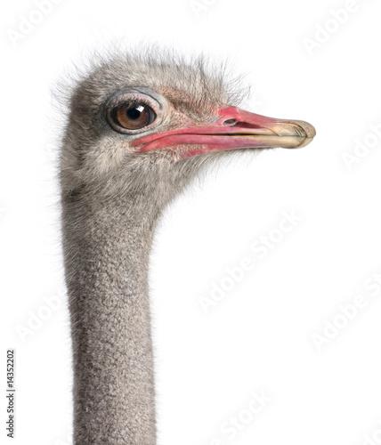 Fotobehang Struisvogel close-up on a ostrich's head