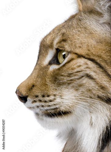 Poster Lynx Close-up of a Eurasian Lynx's head - Lynx lynx (5 years old)