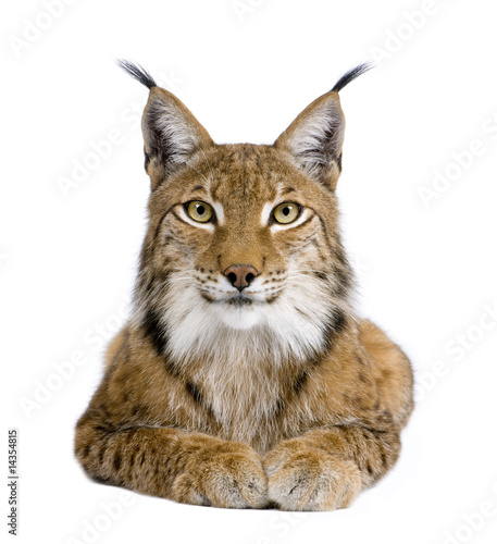 Photo Stands Lynx Eurasian Lynx - Lynx lynx (5 years old)