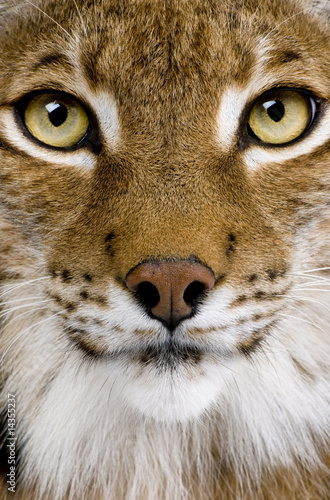 Poster Lynx Close-up of a Eurasian Lynx's head - Lynx lynx (5 years old)