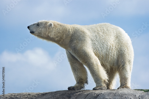 Polar bear walking on rocks