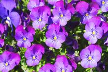 Violet Pansies.