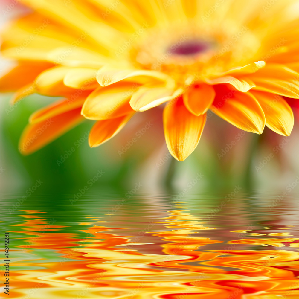 Fototapeta Closeup photo of yellow daisy-gerbera