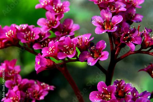 Bergenia Cordifolia flowers Canvas Print