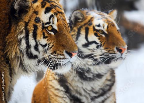 Naklejki tygrys   tygrysy
