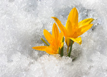 Spring Is Coming - Yellow Crocuses In Snow