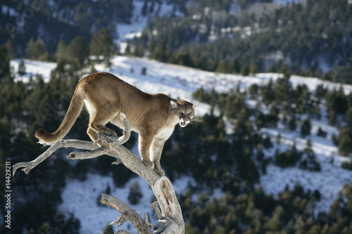 In de dag Puma Mountain Lion od Dead Tree Snag