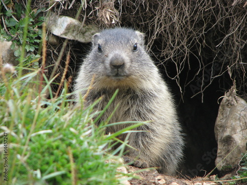 Photo Marmottes
