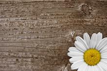Margeritenblüte Auf Holz