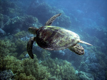 Sea Turtle In Great Barrier Reef
