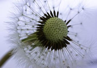 Obraz na Szkle Dmuchawce Dandelion