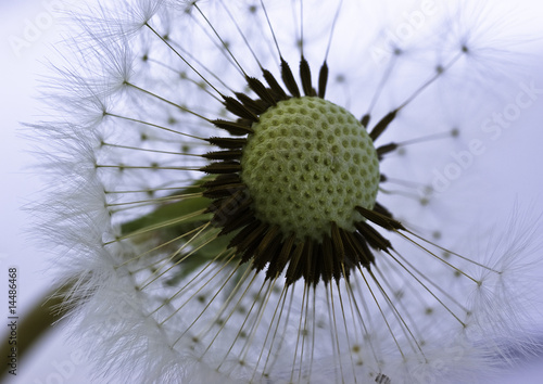 Dandelion - 14486468