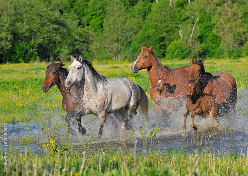 Photo  Horses run on water with splashes on a meadow