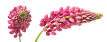 Pink Lupine, Anface And Profile, Isolated On White