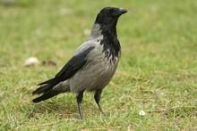 Hooded Crow / Corvus Cornix