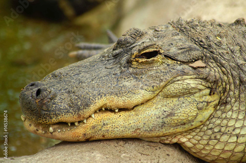 Deurstickers Krokodil Gator