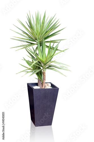 Foto op Canvas Planten House plant - yucca