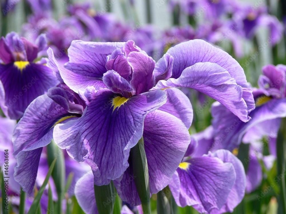 Fototapeta Purple Flag Iris