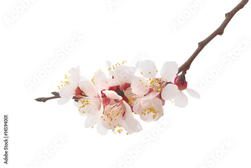 Photo  Almond tree pink flowers.
