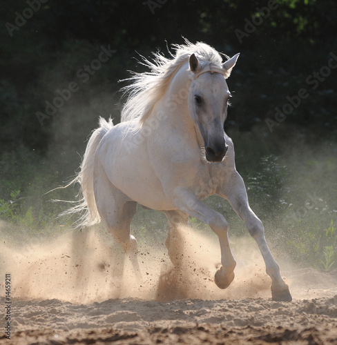Valokuva white horse runs gallop in dust