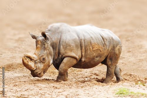 Aluminium Prints Rhino rhinoceros