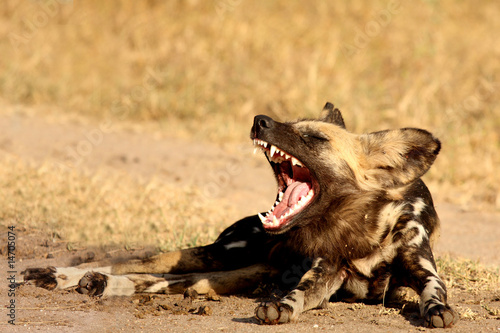 In de dag Hyena Wild dogs in Soouth Africa
