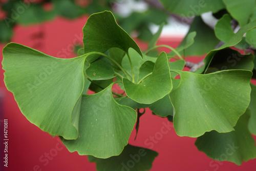 feuilles de gingko Canvas Print