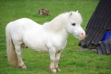 White Miniature Pony In Field