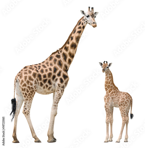 Fotografie, Obraz  Giraffe mother and baby