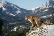 Mountain Lion On Cliff