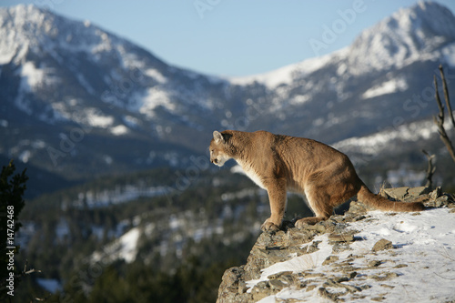Fotoposter Puma Mountain Lion on Cliff