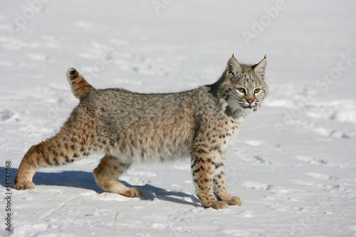 Spoed Foto op Canvas Lynx North American Bobcat Running in Snow