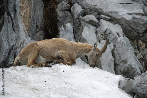 Poster Puma Bouquetin femelle se rafraichissant